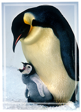 Emperor Penguin Egg Size